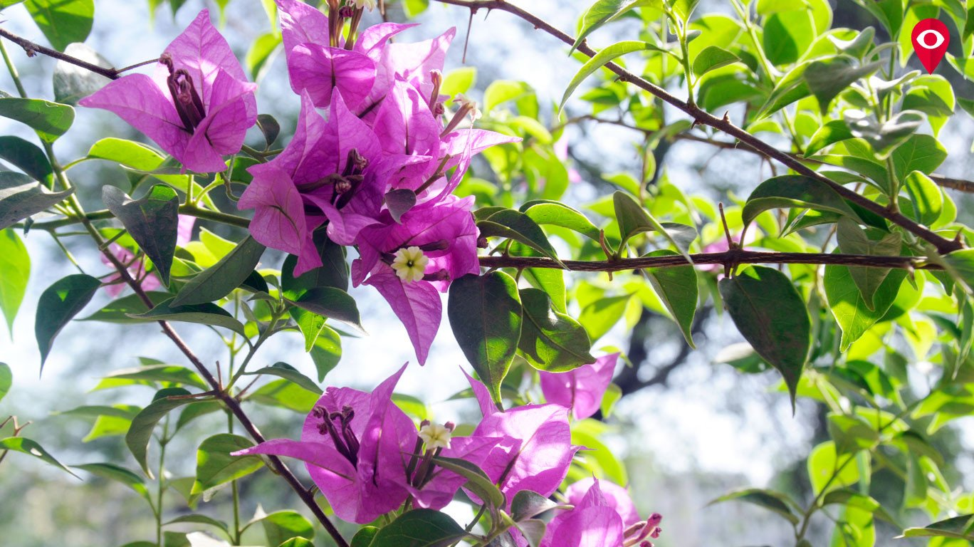 Spring in Mumbai's step - these flowering trees herald the turn of season in city