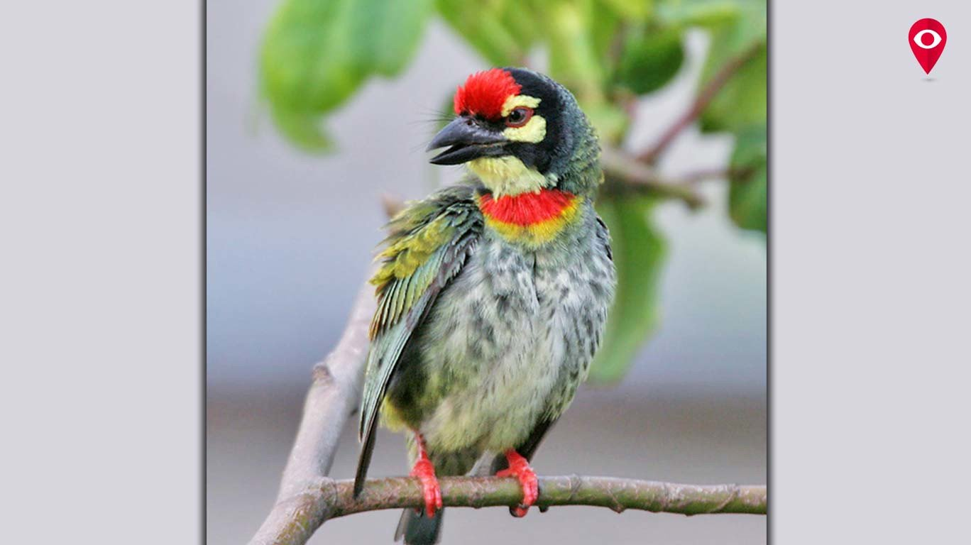 Did you know Mumbai had an official bird? Meet Coppersmith Barbet!