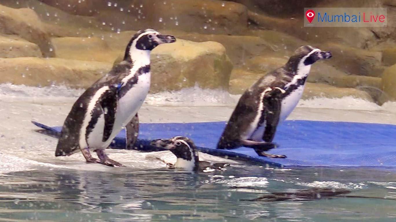 मुंबईकरों को आखिरकार दिखा पेंग्विन