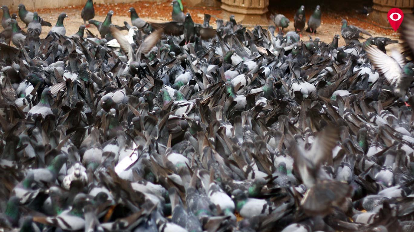 Warning: Pigeon droppings may give you respiratory issues. Here's how...