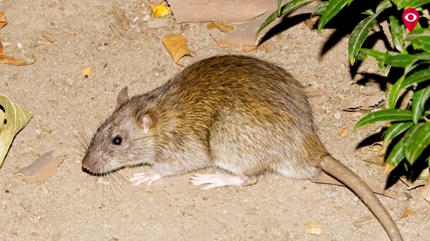 Are rats multiplying faster than humans in Mumbai?