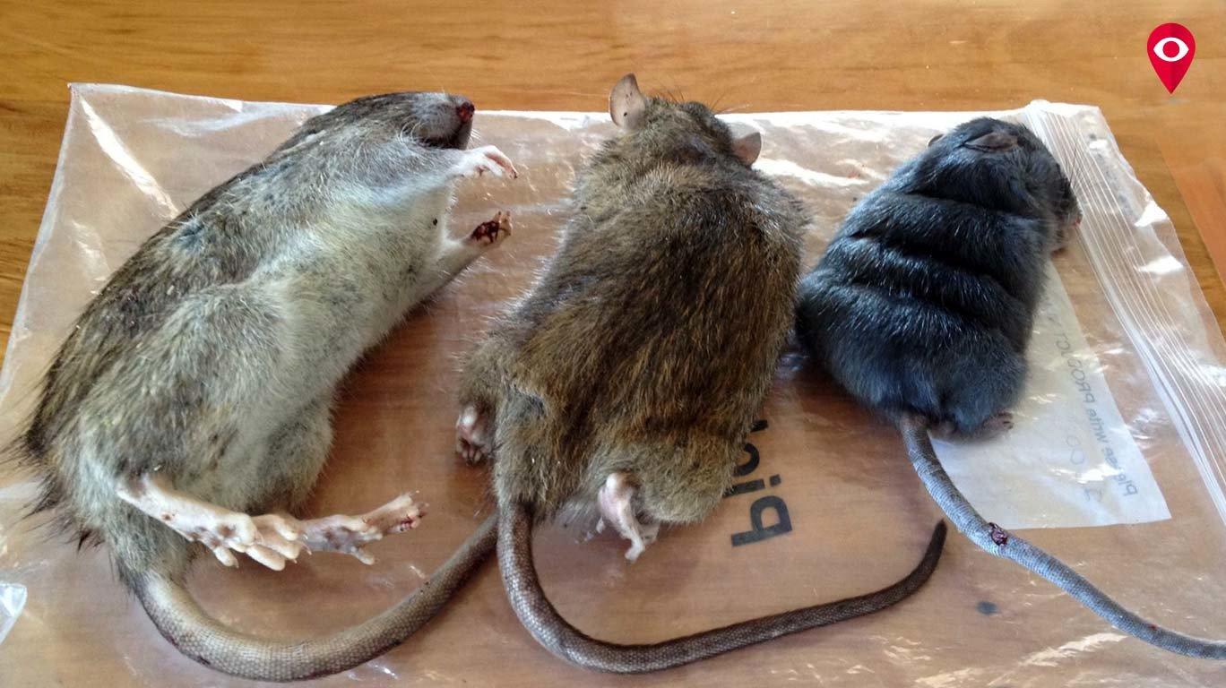 उंदरांमुळे मुंबईकर हैराण, दर महिन्याला 20 हजार उंदरांचा खातमा