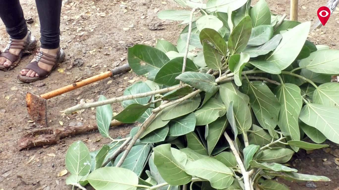 वडाच्या तुटलेल्या फांद्यांना जीवनदान, 'ग्रीन अंब्रेला'चा अनोखा उपक्रम