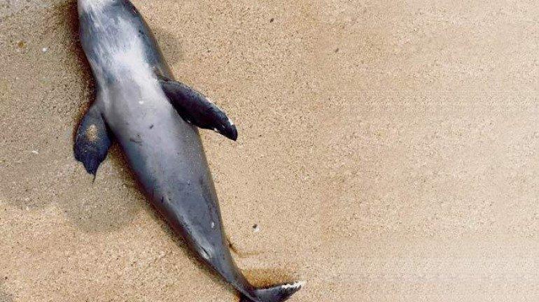 Porpoise found dead along Juhu beach