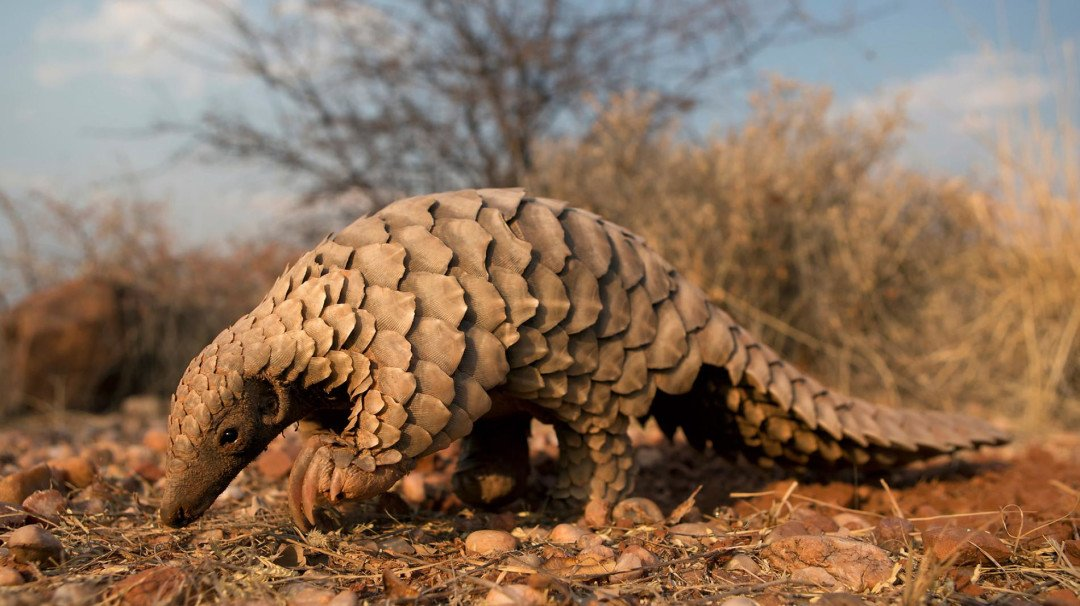pangolin - HD 1900×1266