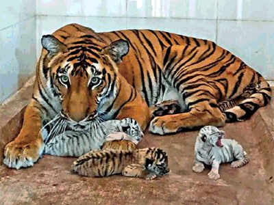 Mumbaikars might soon be able to see tigers at Jijamata Udyan