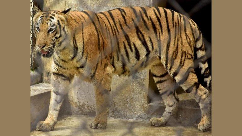 राणीच्या बागेत १४ वर्षांनी घुमणार वाघाची डरकाळी