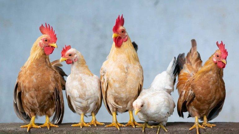 कोरोना व्हायरसमुळं कोंबडीविक्रीत मोठी घट