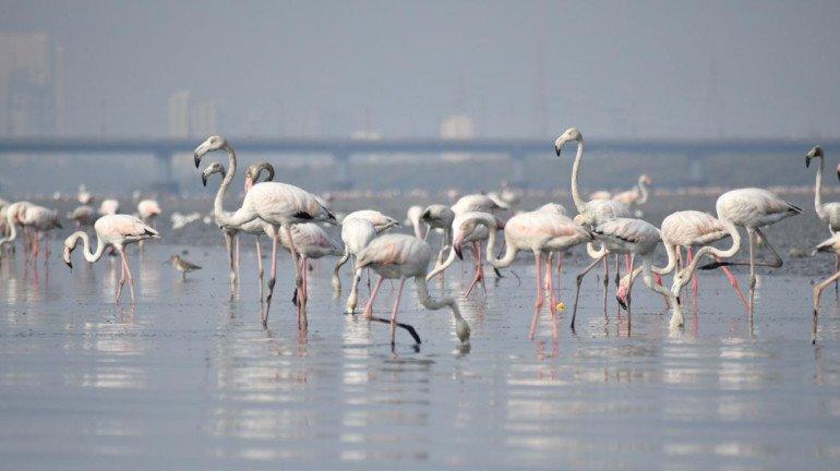 Mumbai witnesses 25 per cent increase in flamingo migration