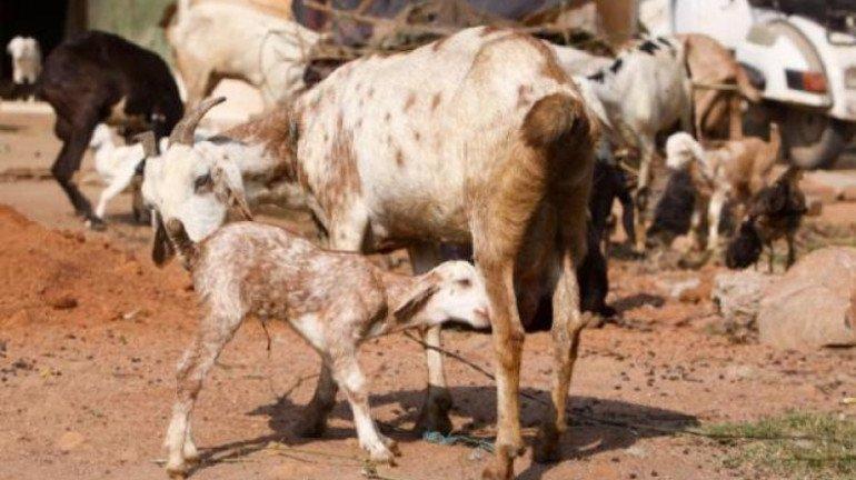 Bakra Eid: Qurbani of 900 Animals Allowed Between July 21–23 at Deonar Abattoir