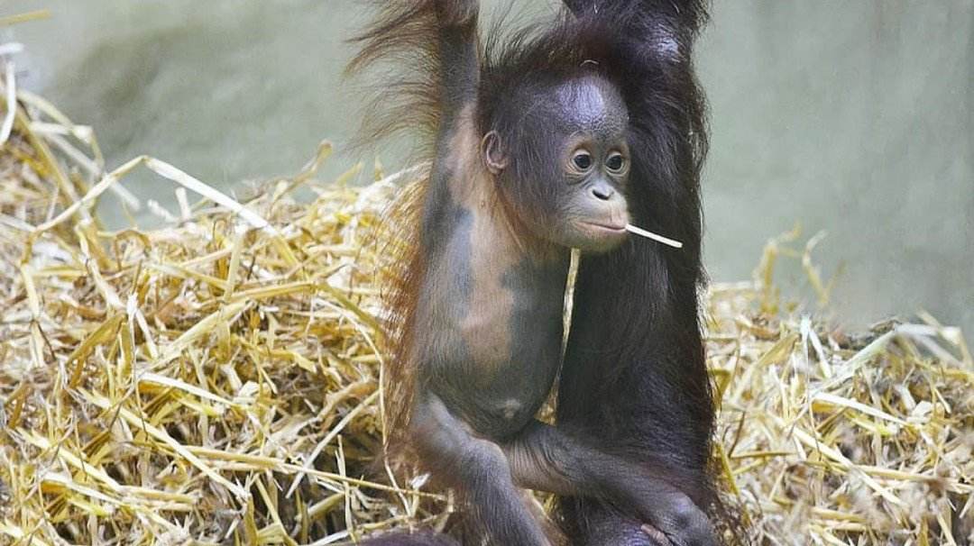 Mumbai Police register FIR against two men involved in illegal trading of a missing Orangutan