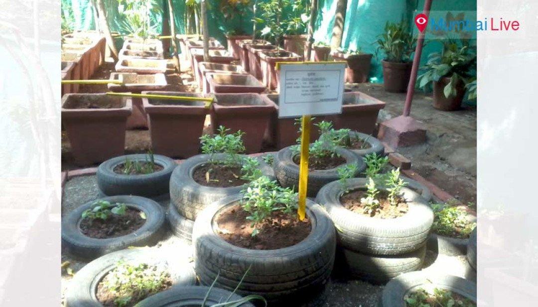 Herb blooms in BMC garden
