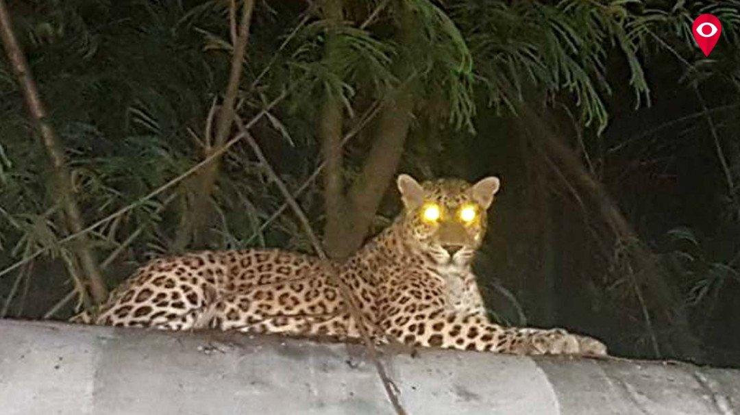 भांडुप में फिर से दिखा तेंदुआ
