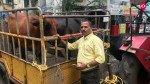 वसई विरार में कितने गाय और भैंस, मनपा के पास नहीं है कोई आंकड़ा