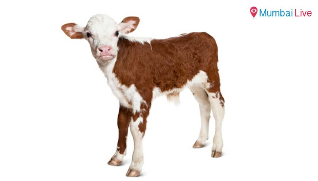 Police trace missing calf