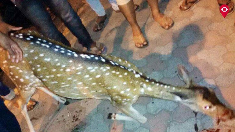 Deer killed by speeding autorickshaw