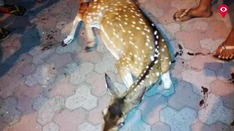 तेज रिक्शा से हिरण की मौत