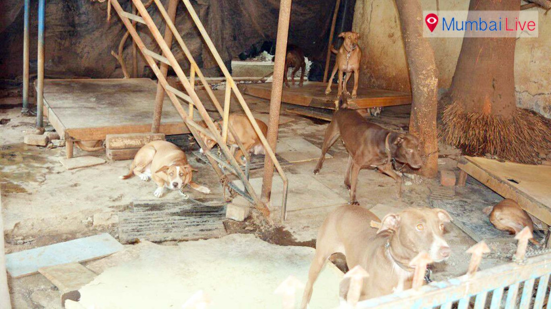 Stray dogs menace on Shaikh Mistry Road