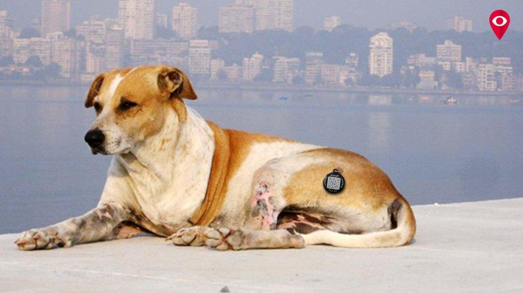 मुंबईतील भटक्या कुत्र्यांमध्ये बसवणार मायक्रो चिप