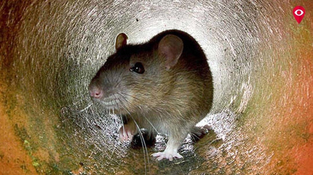 चूहे को मारने का भाव 18 रुपए