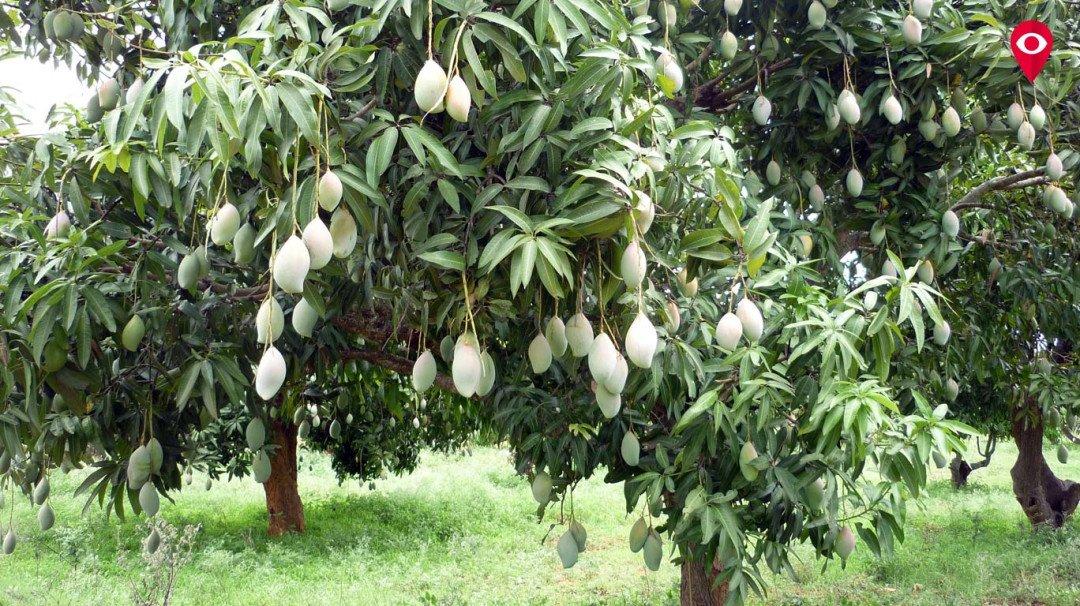 बीएमसी मुफ्त में बांटेगी झाड़