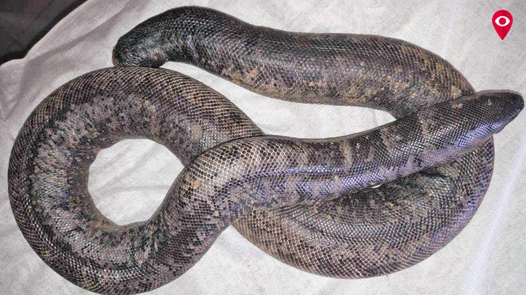Real estate agent held with sand boa snake