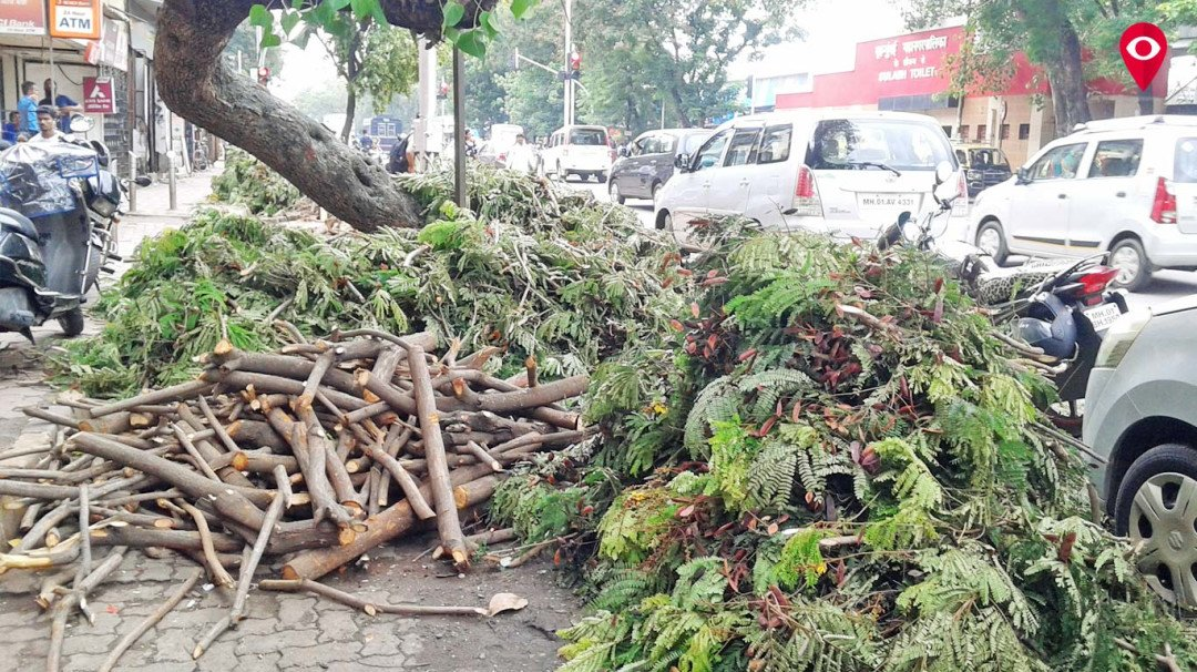 Trees continue to fall even though the BMC spends crores on them