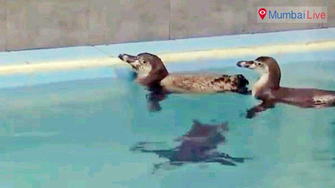 By July, Mumbaikars will get to see penguins at Byculla zoo