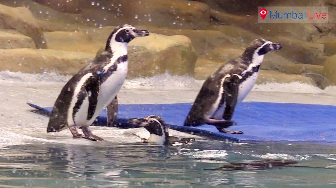 Penguins put on display at Byculla Zoo