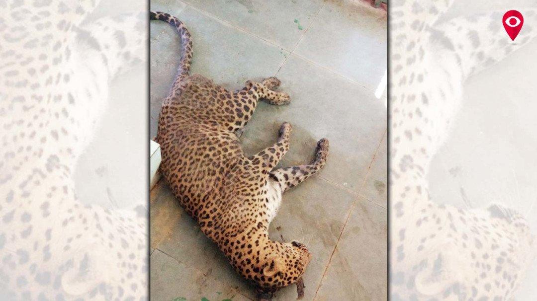Female leopard Radha dies at Sanjay Gandhi National Park