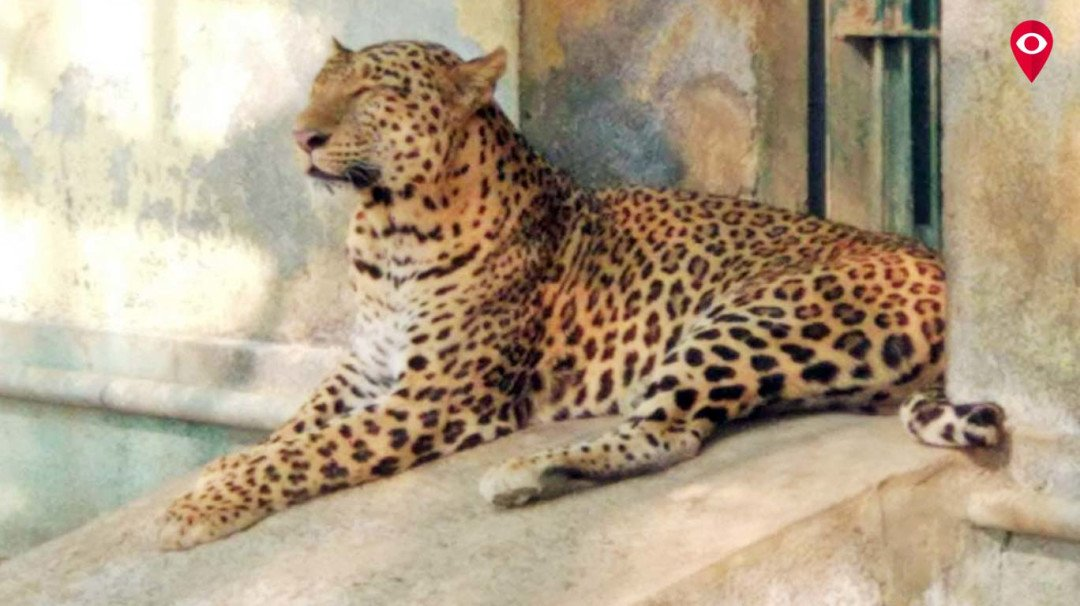 Female leopard Radha dies at Sanjay Gandhi National Park