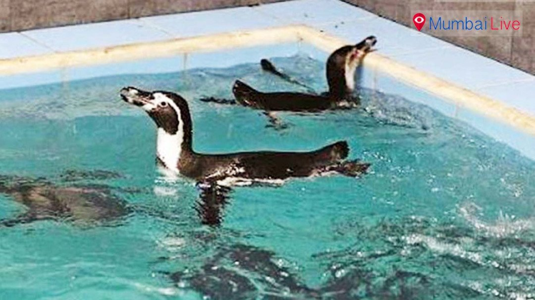 Watch penguins after Mayoral Election