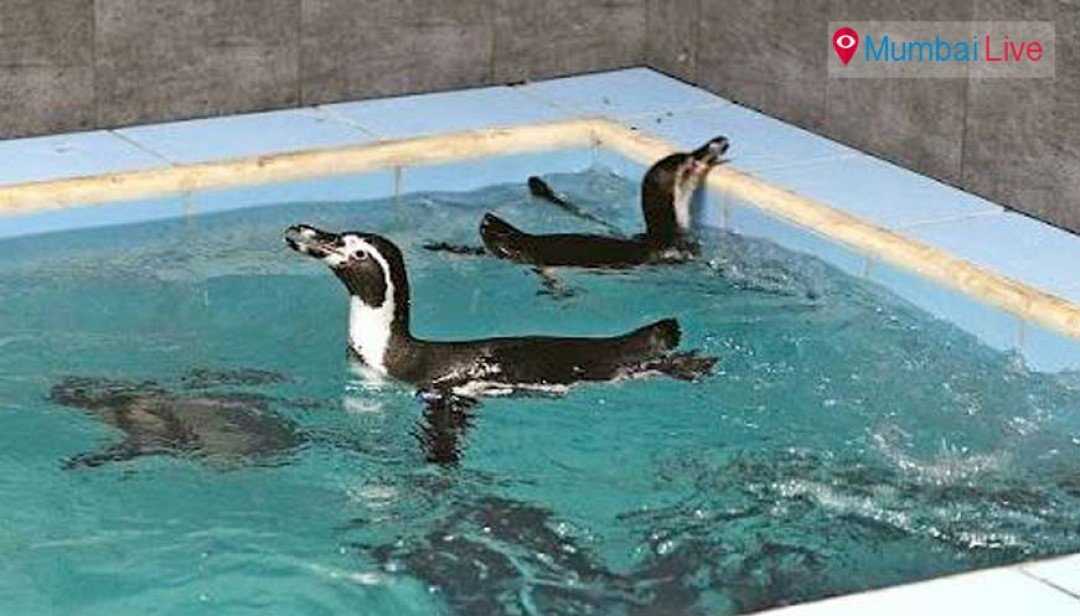 Byculla zoo will reveal Penguins in November