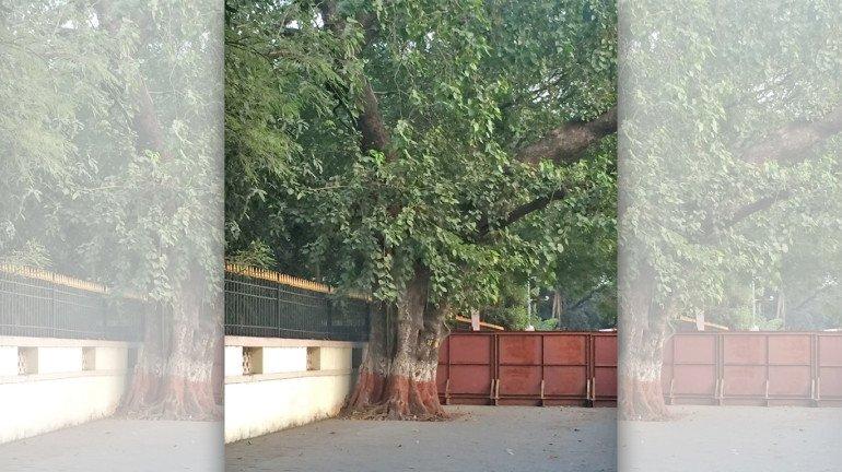 १०० वर्ष जुनं झाड वाचवायला प्राध्यापकाची धडपड, मुंबईत मोजकीच झाडे शिल्लक!