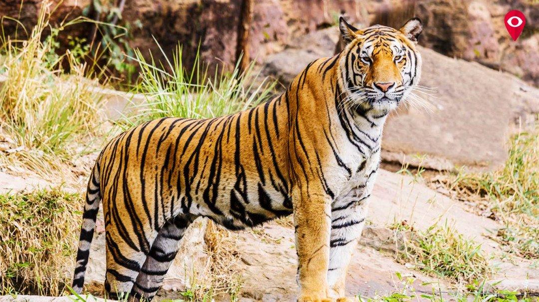 अंतर्राष्ट्रीय बाघ दिवस - भारत के राष्ट्रीय पशु को मिल रहा लोगों का साथ!