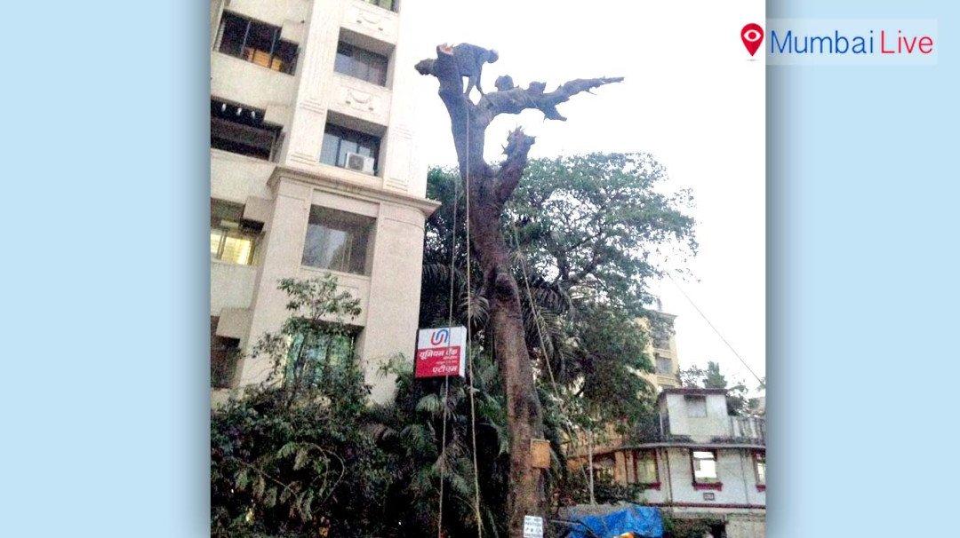 खारमध्ये झाडांची अवैध कत्तल?