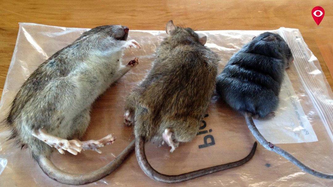 मुंबई में हर महीने मारे जाते है 20 हजार चूहे