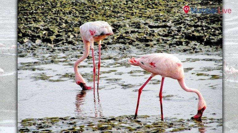 Watch Flamingos at Sewri Jetty