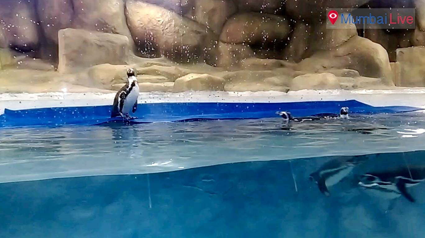 Wednesday off for Humboldt penguins in Rani Baug