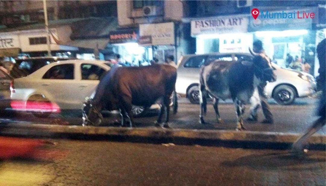 Cattle causes traffic jam