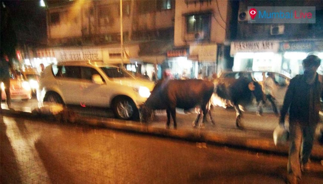 Cattle causes traffic jam