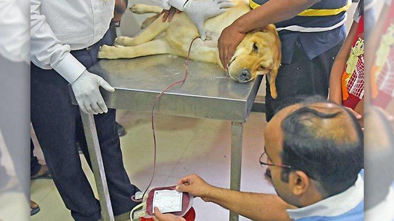 क्या आप जानते हैं, कुत्ते भी करते हैं 'रक्तदान'