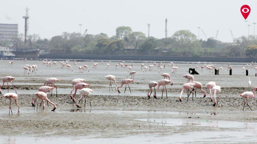 बढ़ते तापमान के कारण फ्लेमिंगो पक्षियों का पलायन शुरु