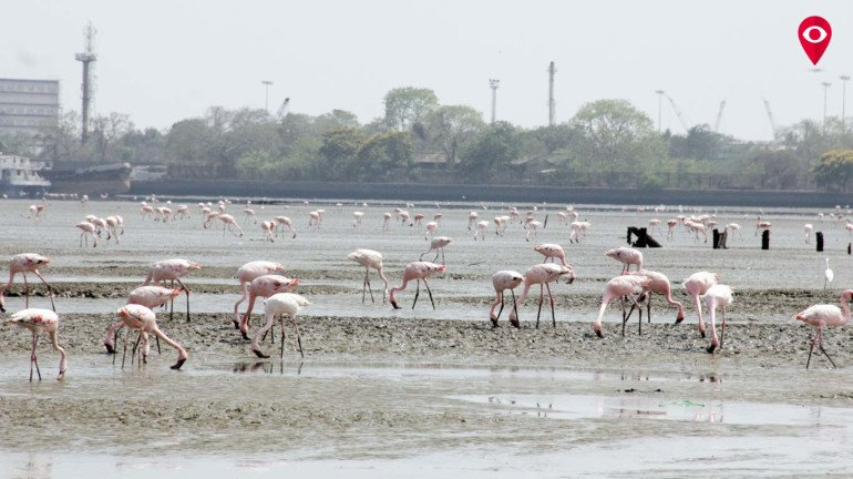 Flamingos flying back because of heat