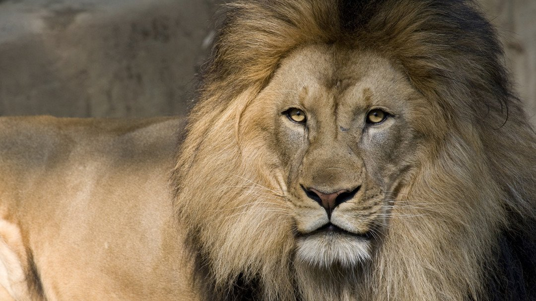 Byculla zoo to get a lion all the way from Junagarh