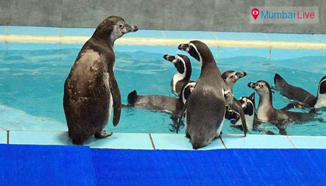 सातों पेग्विन अच्छी अवस्था में- डा. संजय त्रिपाठी