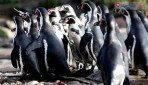 राणीबागेत पेंग्विन पाहायला मोजा 100 रुपये