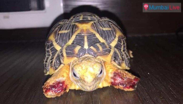 Injured star tortoise found in Bhandup